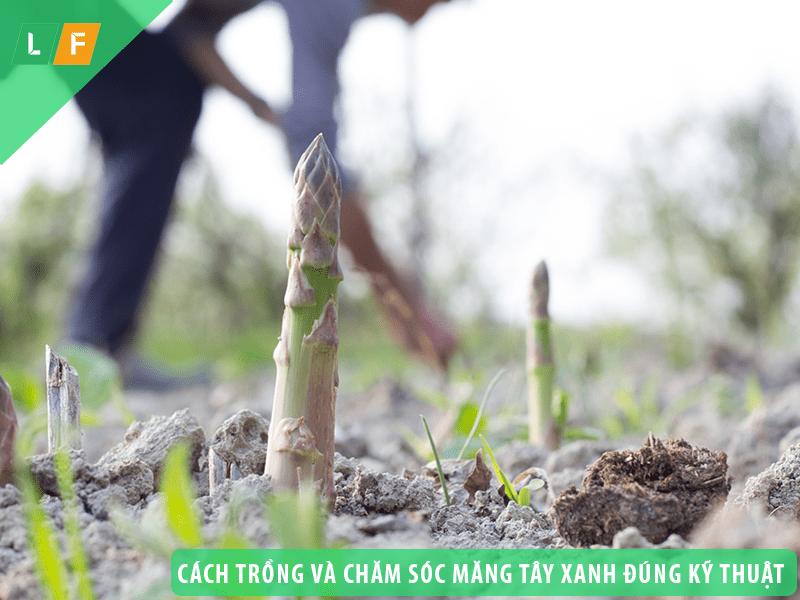 Cách trồng và chăm sóc măng tây xanh đúng kỹ thuật