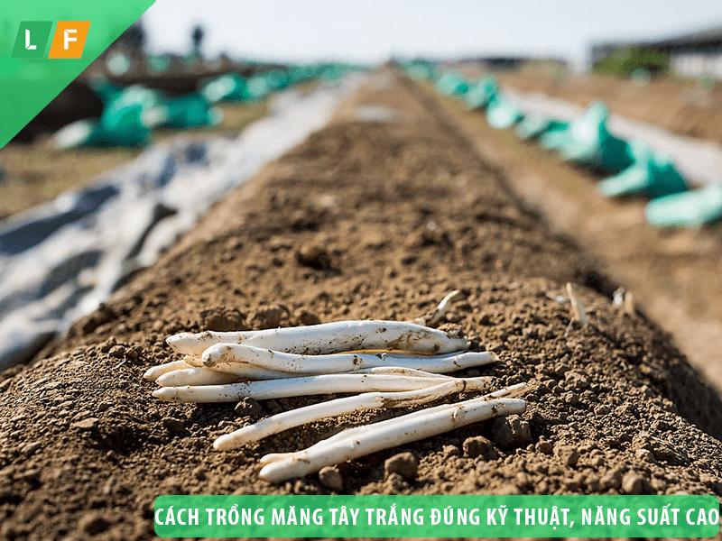 Cách trồng măng tây trắng đúng kỹ thuật, cho năng suất cao
