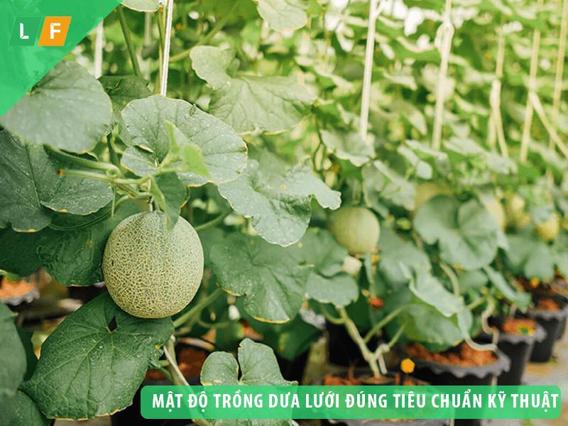 Mật độ trồng dưa lưới đúng chuẩn đảm bảo cây phát triển tốt