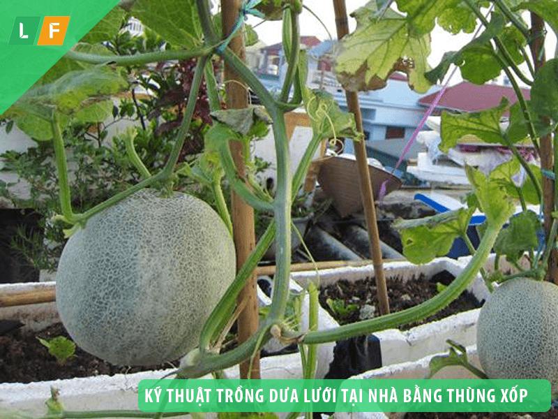 Mách bạn kỹ thuật trồng dưa lưới tại nhà bằng thùng xốp