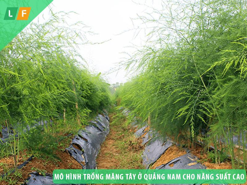 Các mô hình trồng măng tây ở Quảng Nam cho năng suất cao