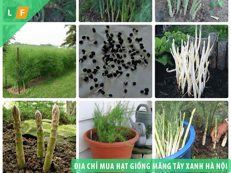Địa chỉ mua hạt giống, cây giống măng tây xanh ở Hà Nội