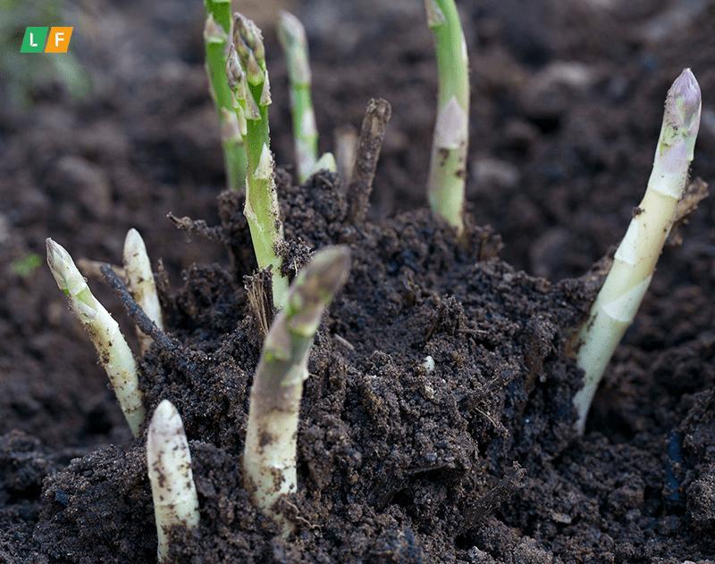 Nên trồng măng tây vào mùa nào?